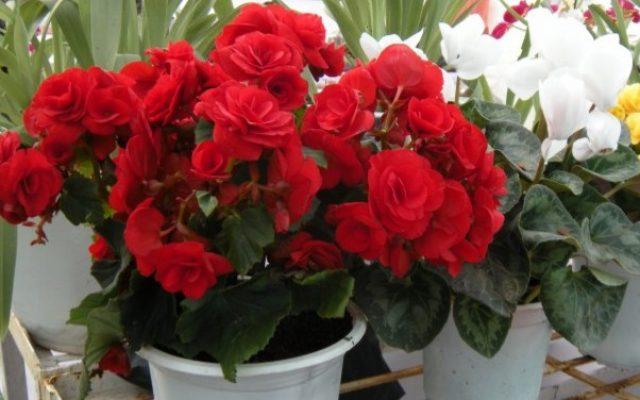 Hoa hải đường phù hợp cho lễ cúng ngày nhập trạch